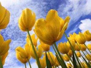 Yellow Tulips Spring